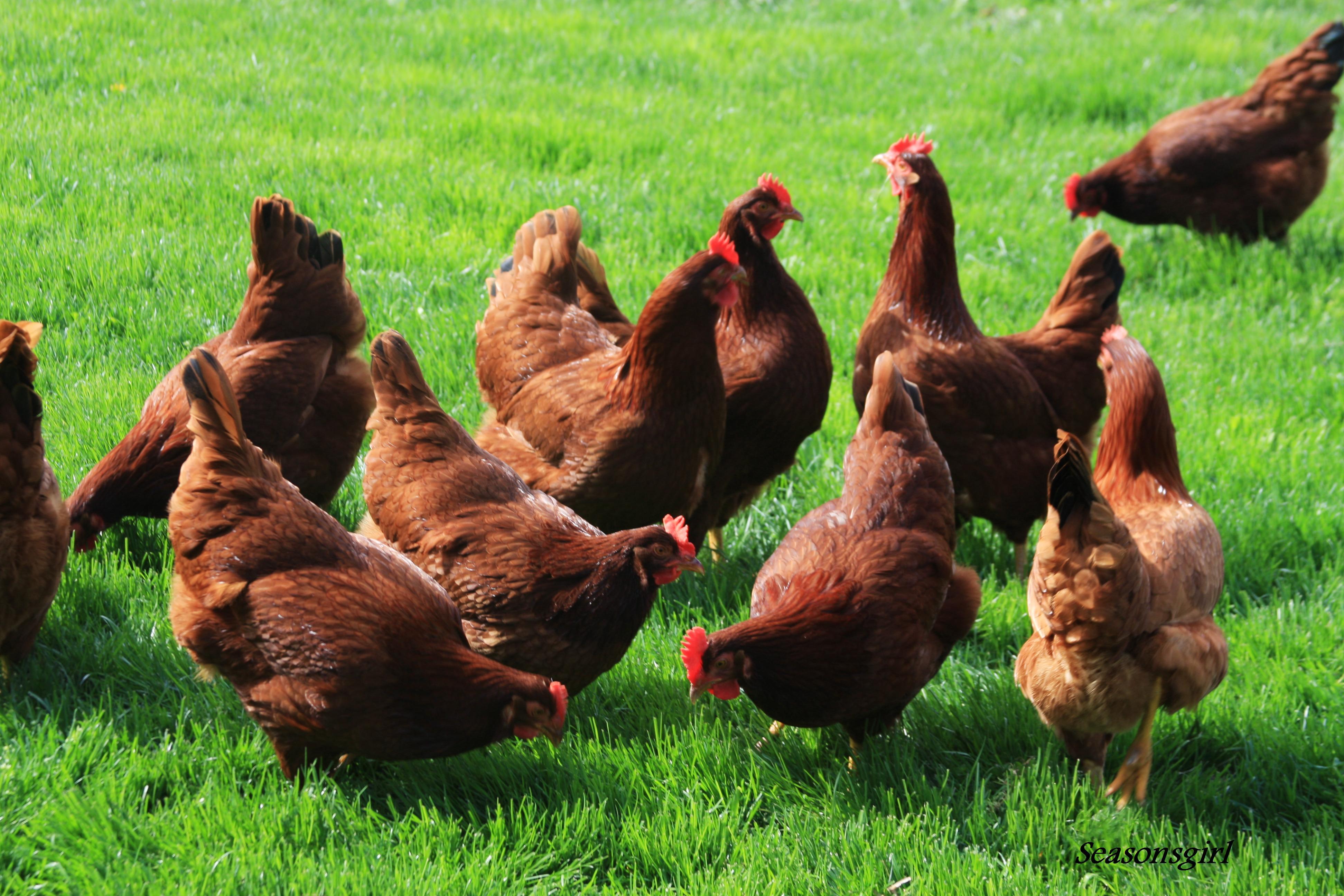 Chicken Spiel