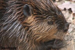 Builder Beavers