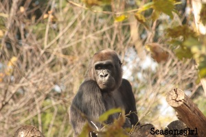 Female Gorilla