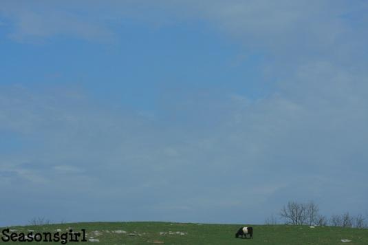 Cow n sky