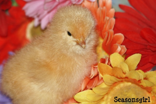 Chick flower