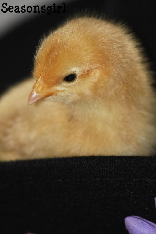 Chick n hat