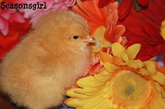 Chick week 1