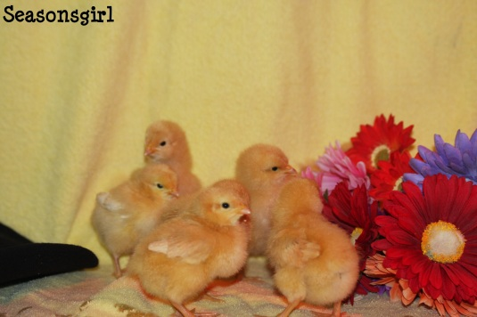 Chicks 6 days old