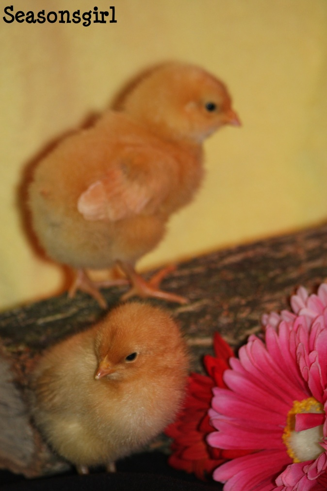 Chicks 6 days