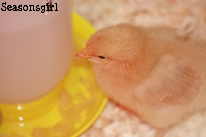 Little chick 2