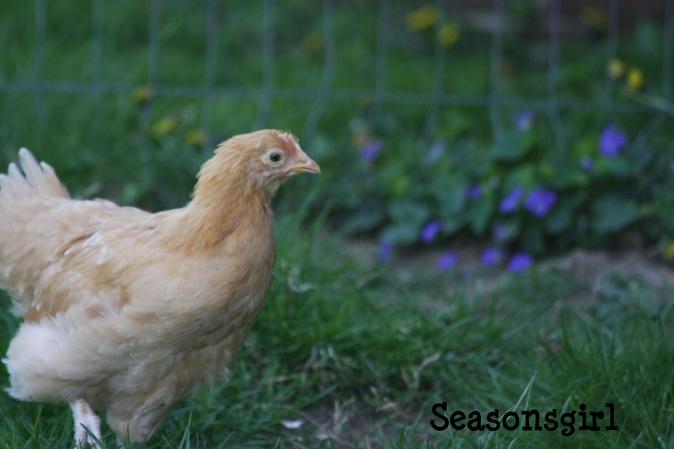 chick n grass