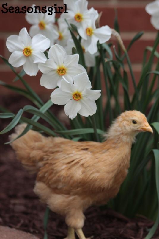 chick white flower