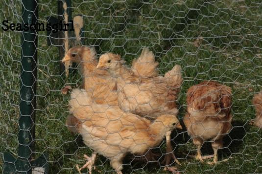 chicks explor