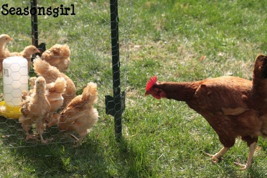 chicks n chicken