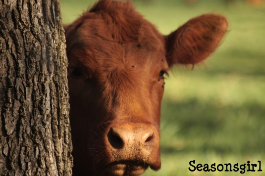 Cow Face 1