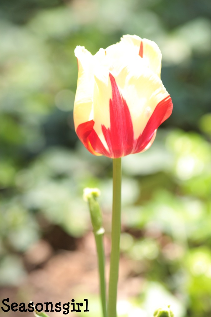 Yel n red tulip