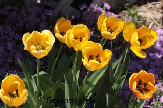 Yel Tulips