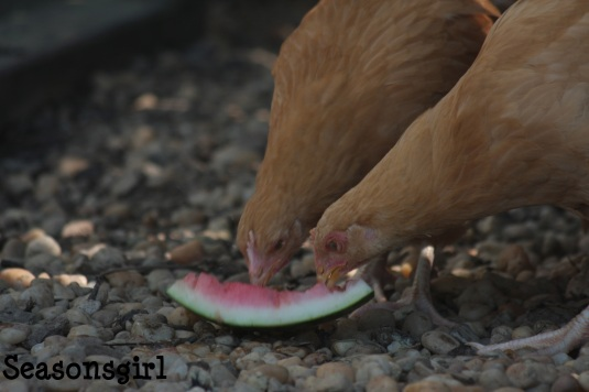 baby chick watermelon