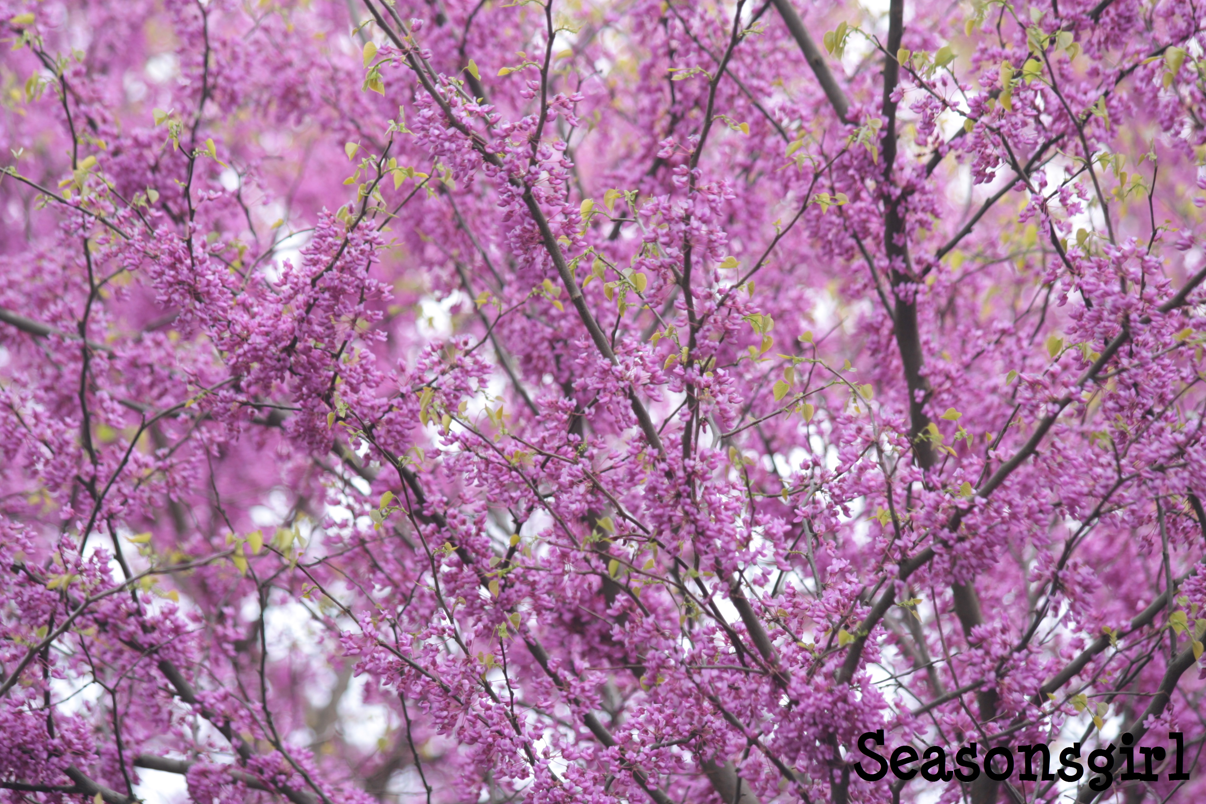 A Purple Tree Day