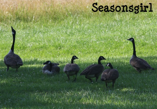 Geese go 3