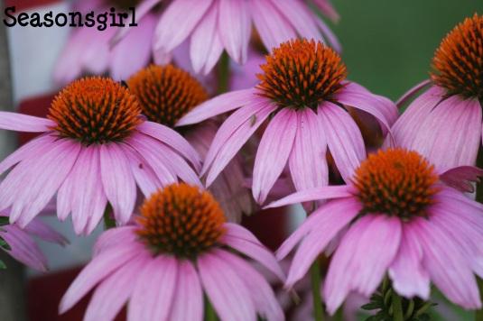 Purple Cones