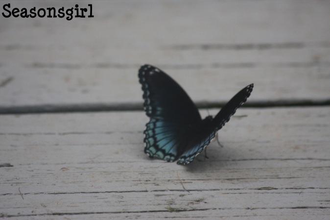 Blu butterfly 3