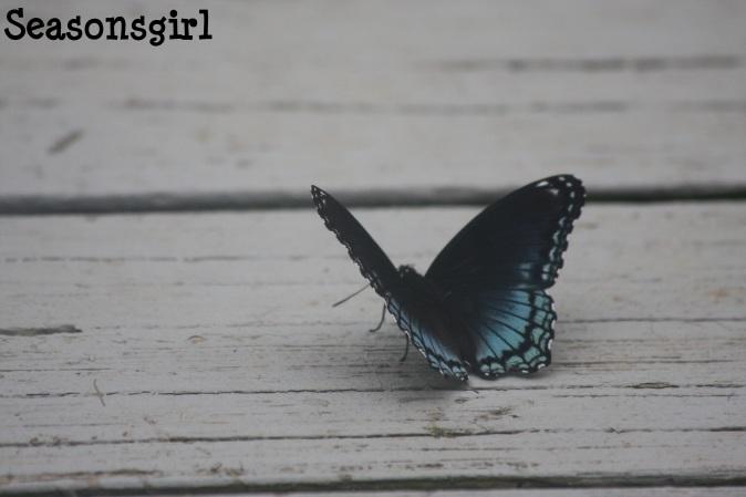 Blu butterfly2
