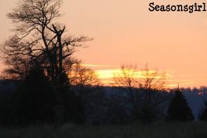 Tree farm sunset