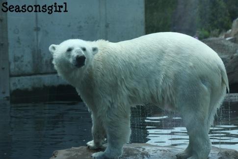 Polar Bear show