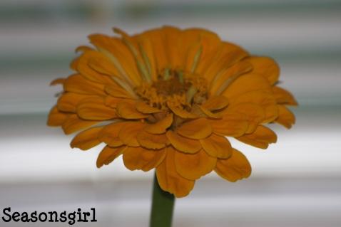 Yellow dalia