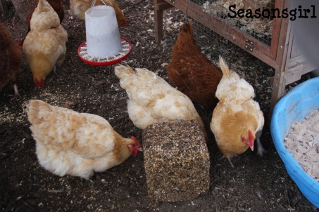 Chickens block