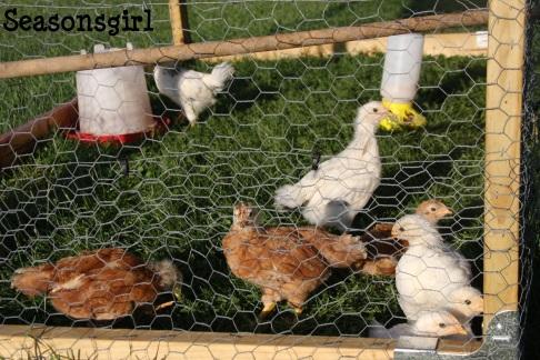 Chick pen 2