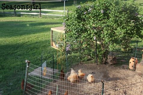 Chick yard