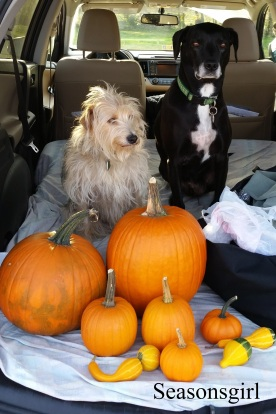 Dogs pumpkins october 2015