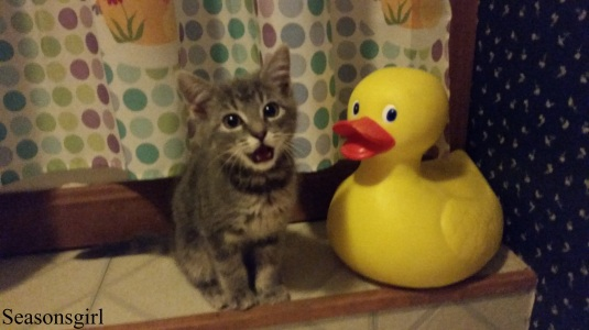 kitten and duck