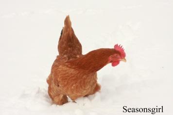 Chickensnow