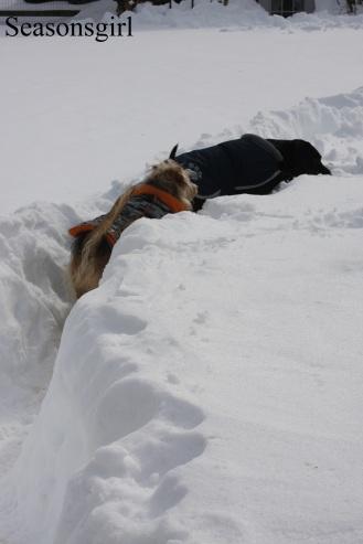 Dogs snow2