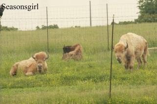 Love the while buffalo!