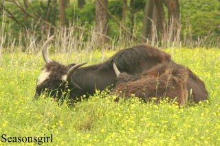 Water buffalo two