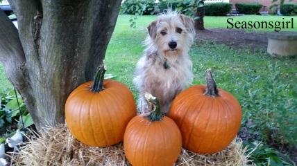 chase-pumpkins