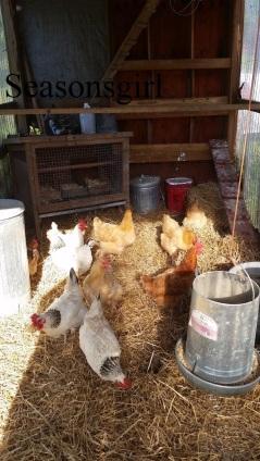 chickens-coop-scrathc