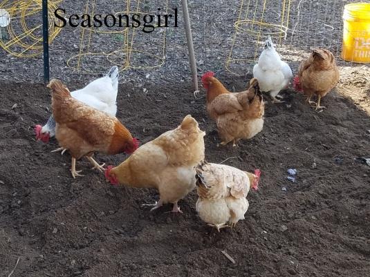 chickens-garden