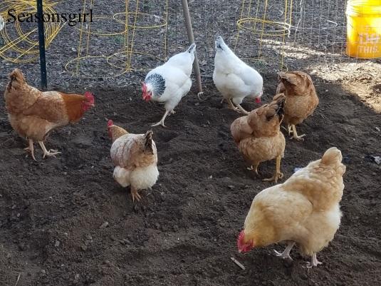 chickens-garden4