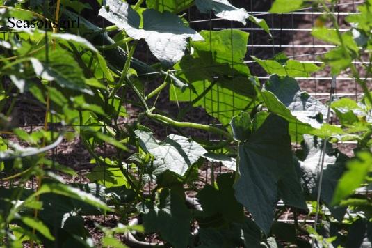 big cucumber plats