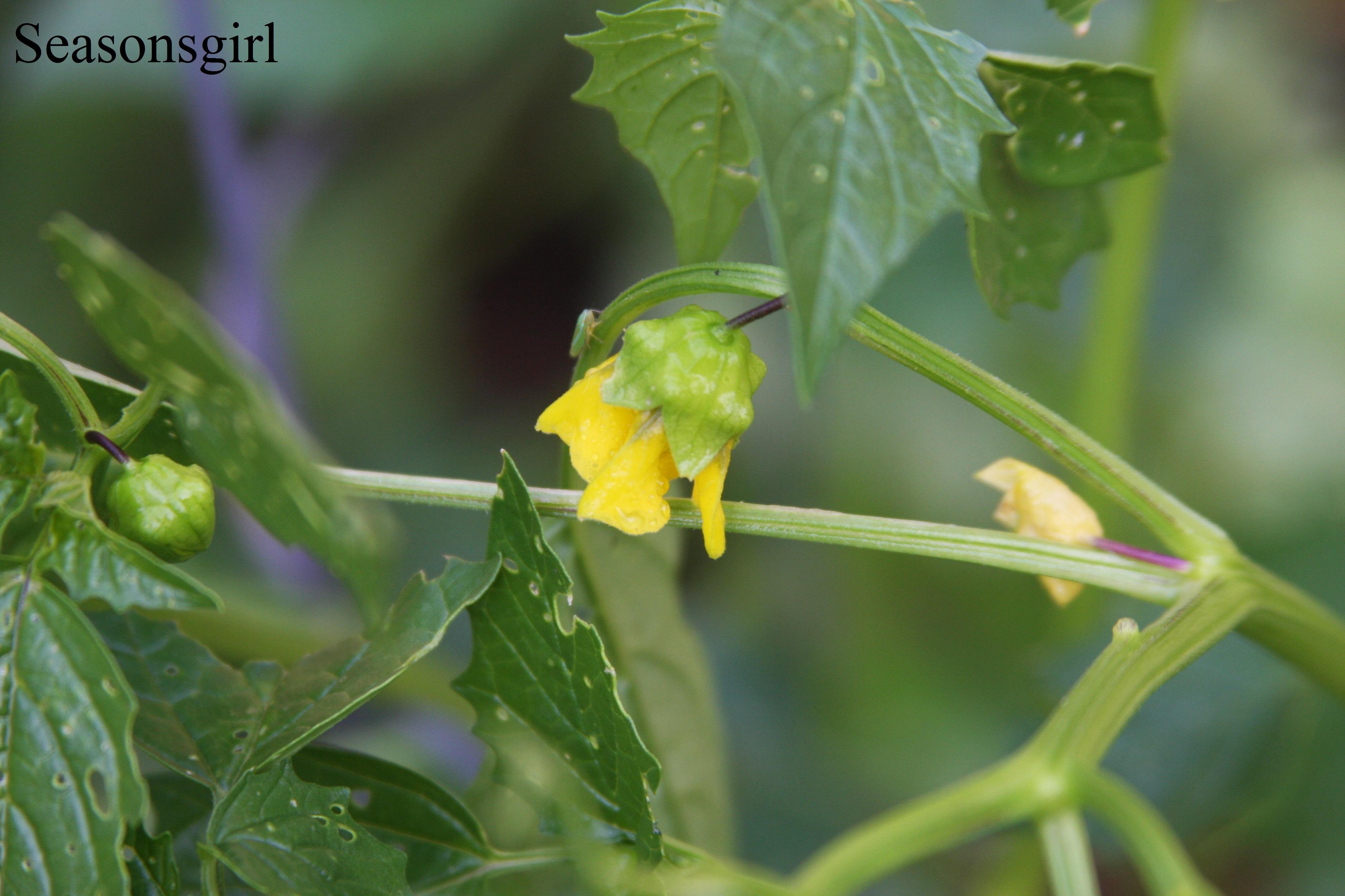 flower tomotillo