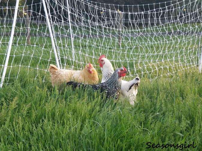 Chickns grass